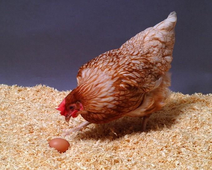 Chicken_sc3